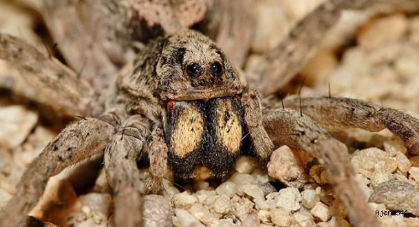 ABD'de örümcekler otoyolu işgal etti!