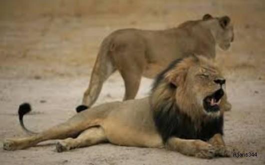 Kaçak Avcılar Aslanlara Yem Oldu