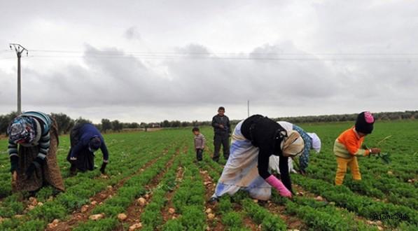 Suriye'de son 29 yılın en kötü buğday hasadı